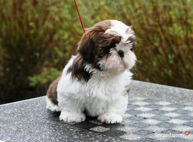 hermosos cachorros SHIH TZU para navidad 1 macho y 1 hembra