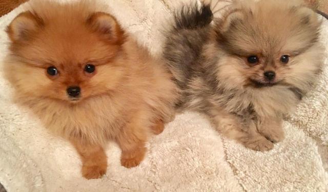Regalo, hermosos cachorros de Pomerania para Navidad 1 macho