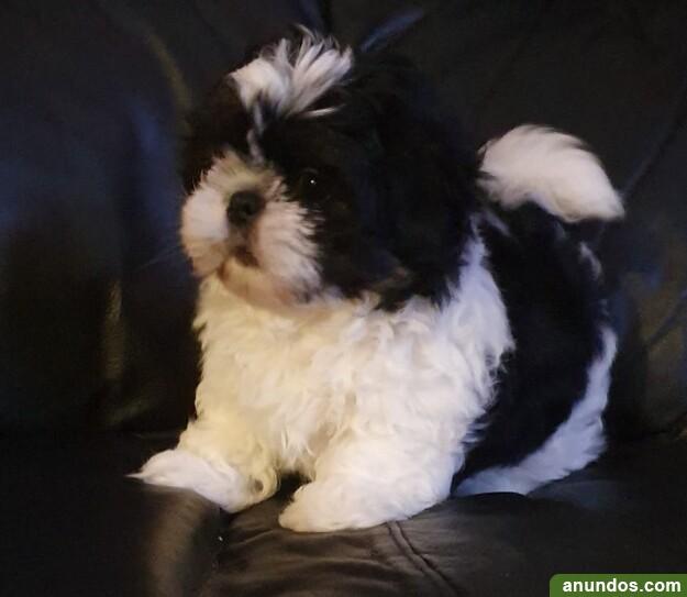 Shih tzu cachorros en adopción - Padrenda