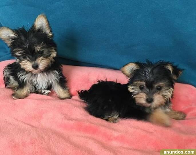 Tenemos dos cachorros yorkie en adopción, - Benquerencia