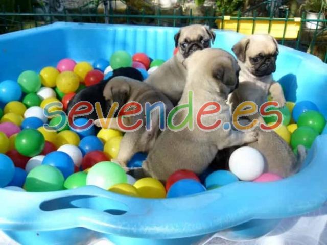 Regalo cachorros de Carlino Pug para adopción