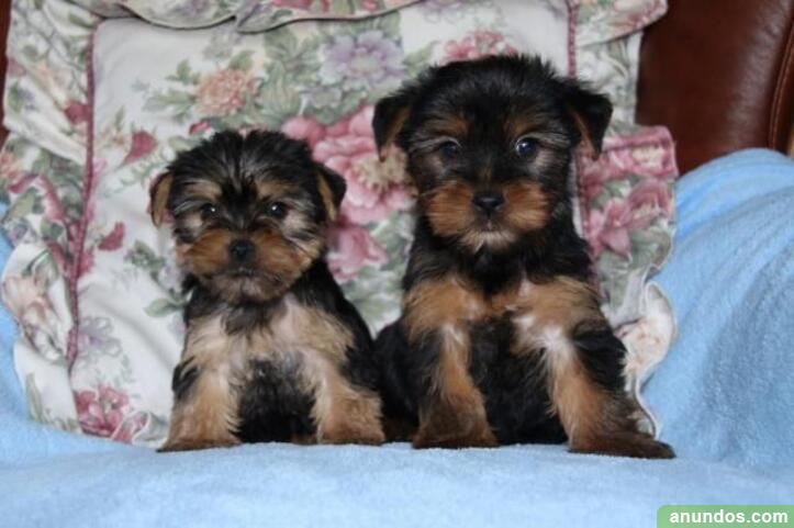 Regalo cachorros yorkie macho y hembra para adopción -