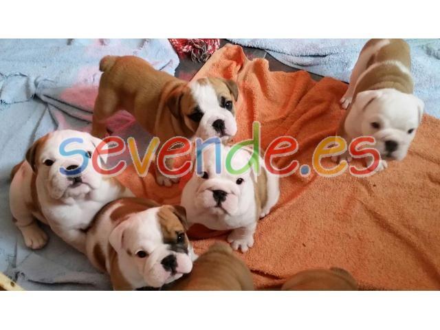 Regalo de cachorros de Bulldog Inglés