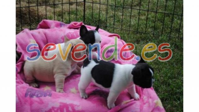 Regalo de cachorros de bulldog francés para a