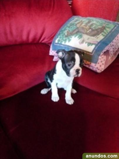 Cachorros boston terrier registrados - Almenara de Adaja