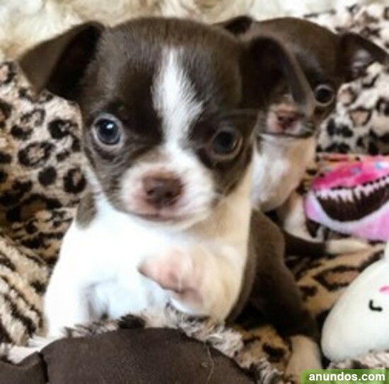 Cachorros de chihuahua para adopción - Arenys de Mar