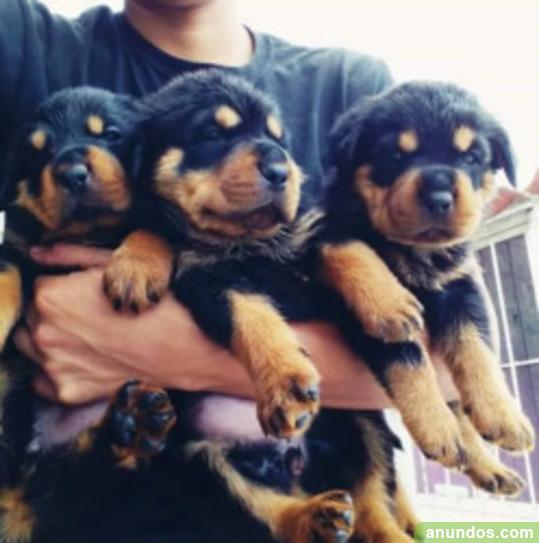 Rottweiler masculino y femenino para adopción - Bárcena de