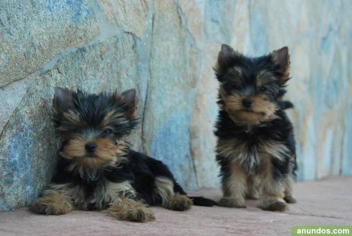 Regalo cachorros toy de yorkshire terrierqs - Zaragoza