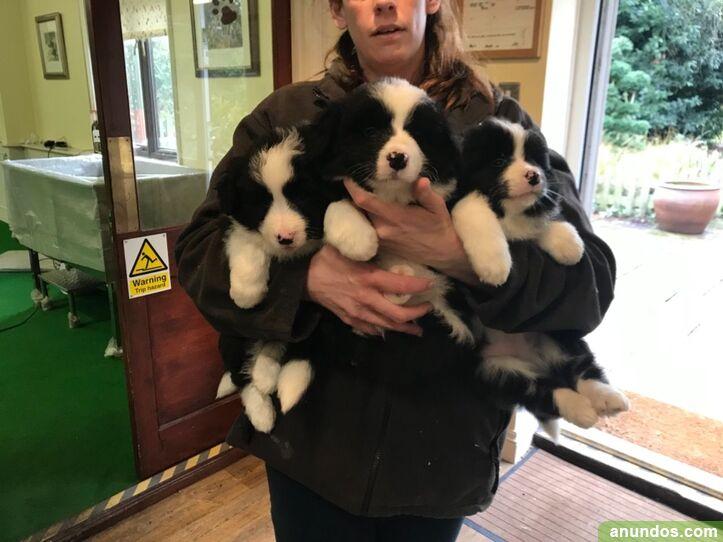 Regalo fantastico cachorros border collie - Taberno