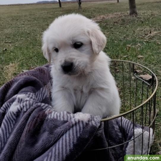 Regalo impresionate cachorros golden retriever - Tomares