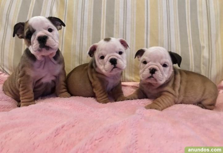 Regalo magnifico cachorros bulldog ingles - Torre-Pacheco