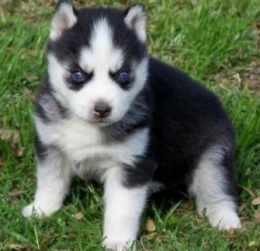 Adorables cachorros de Husky siberiano disponibles