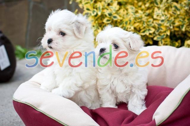 REGALO Bichón Maltés Mini Toy Cachorros para