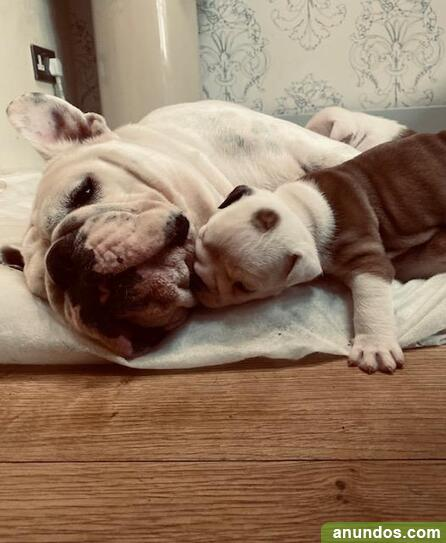 Cachorros de bulldog inglés - Candamo