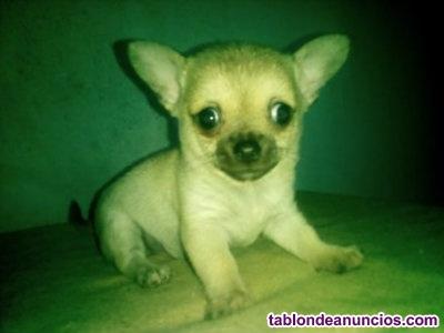 Precioso cachorro de chihuahua macho
