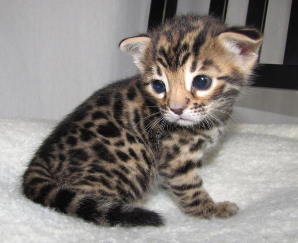 Regalo de gatitos de bengala, para su adopción gratuita,
