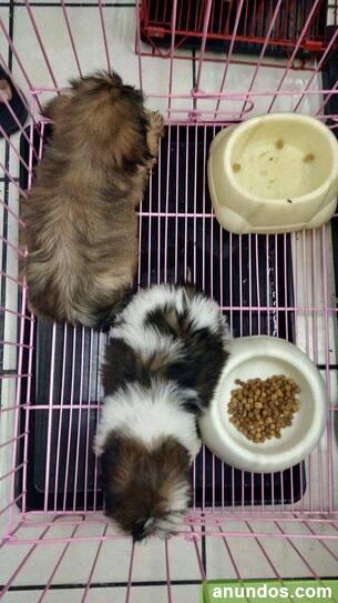 Cachorros shih tzu registrados - Adrada de Haza