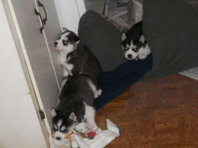 3 cachorros husky siberianos para adopción