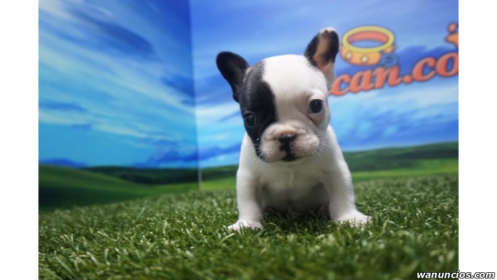 Adorable Baby bulldog francias - Barcelona