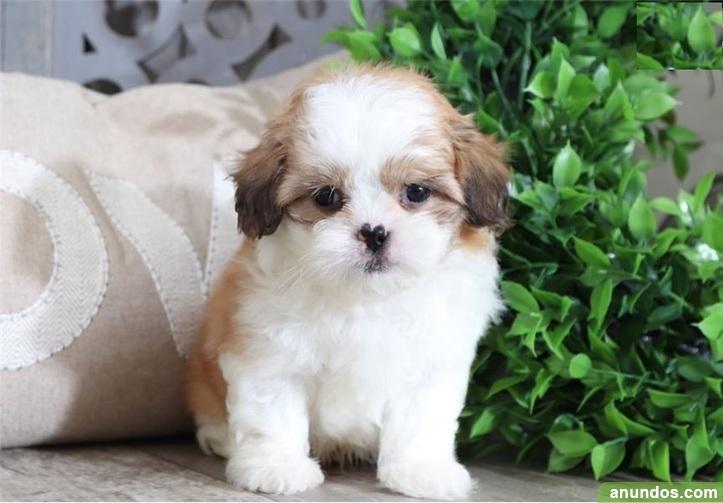 Cachorro shih tzu en adopcion - La Galera