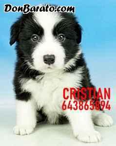 Cachorros border collie blancos y negros