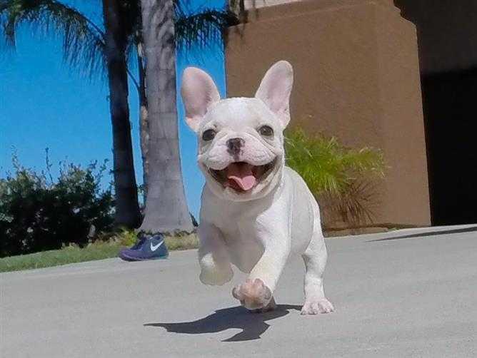 Cachorros de bulldog francés magnífico
