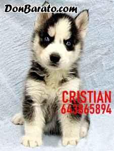Cachorros husky siberiano negros grises blancos