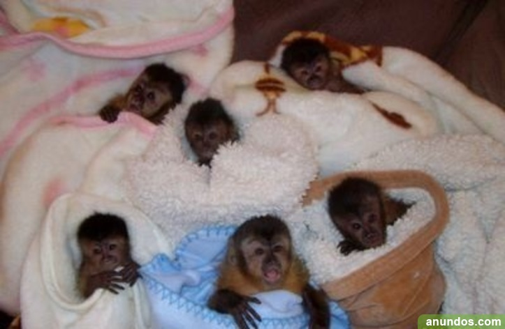 Capuchinos, monos ardilla, monos araña, chimpancés y