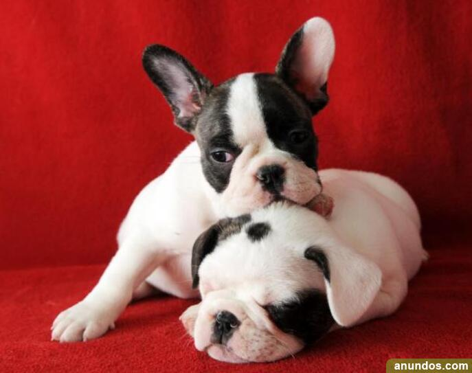 Ds regalos excelente camada de bulldog frances cd - Ceuta