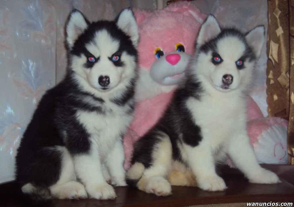 Hermosos cachorros de Husky Siberianos ! - Madrid