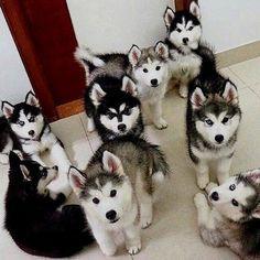 Machos y Hembras de Husky Siberiano disponibles