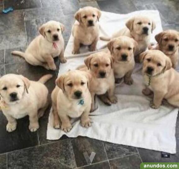 Regalo cachorros labrador - Cañaveras