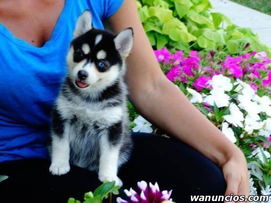 Registrados Cachorros de husky siberiano - Valencia