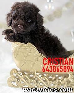 cachorros de perro de agua español - Madrid
