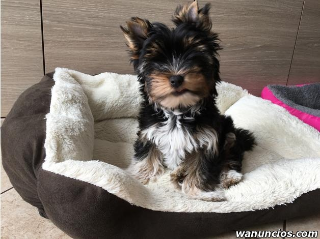 yorkshire terrier, pedigree macho Y hembra - Cádiz