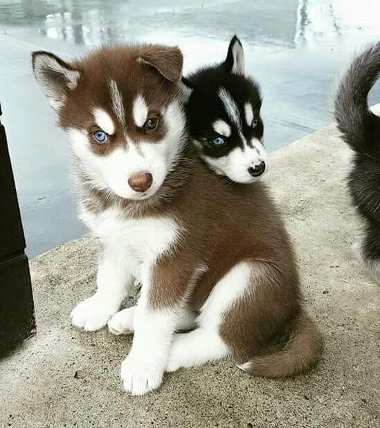 Adorables perritos lindos Husky Siberiano