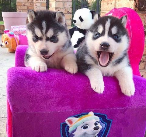 Adorables perritos lindos de la Husky para la adopció
