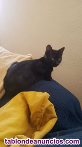 Berto. Gatito negro de meses. Adopta