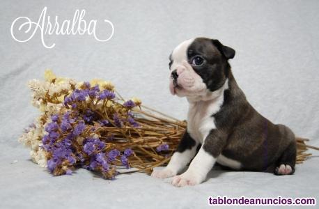 Cachorro boston terrier