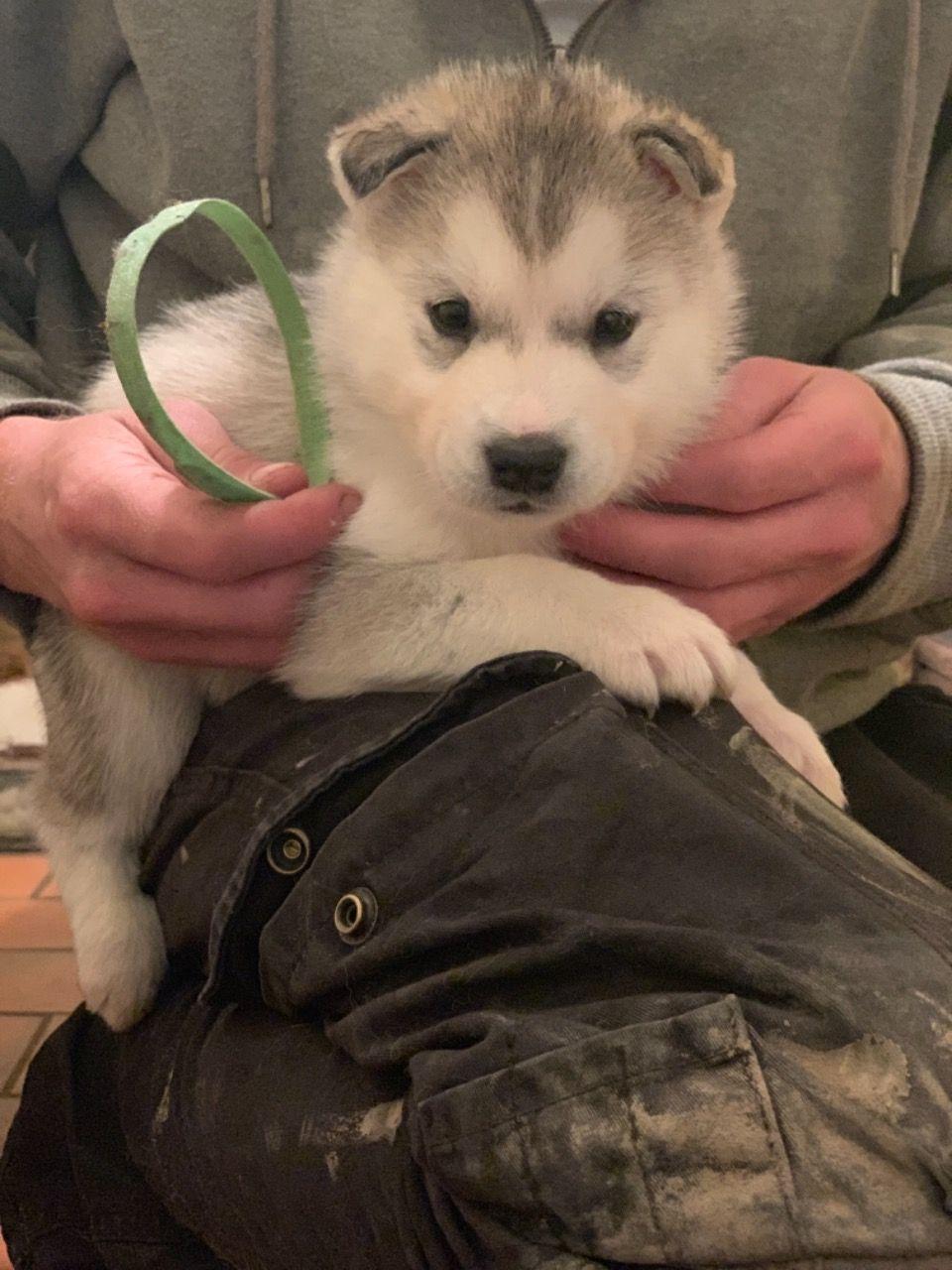 Cachorros de Husky para regalo..