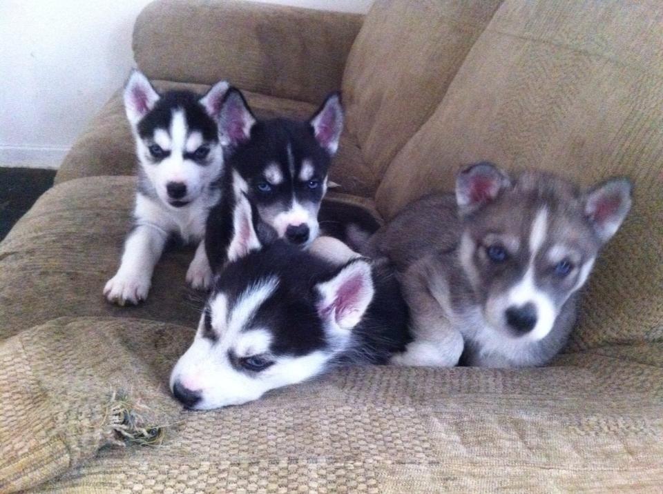 Cachorros de husky siberiano dulce