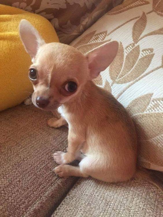 Chihuahua mini toy macho y un cachorro hembra