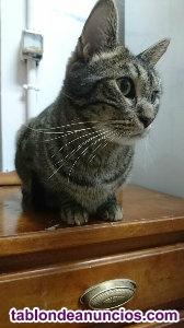 Gato atigrado en adopcion. Ruben