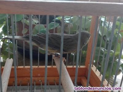 Machos canarios timbrados