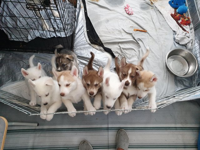 PRECIOSOY ADORABLE Husky PUPPIES LISTO AHORA.