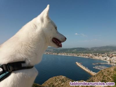 Preciosa camada husky siberiano