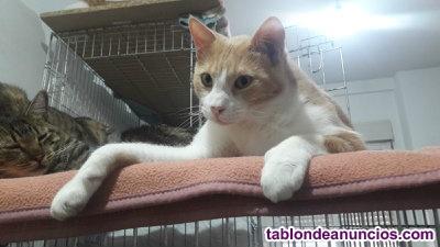 Precioso gato naranja y blanco.