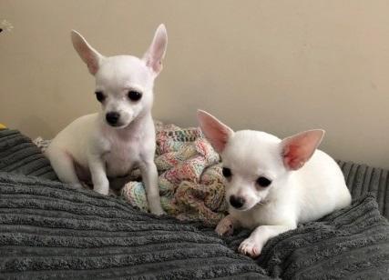Preciosos cachorros de Chihuahua mini toy
