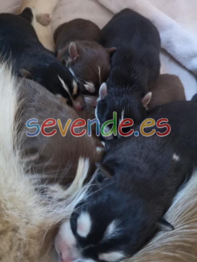 Preciosos cachorros de Husky Siberiano de pur