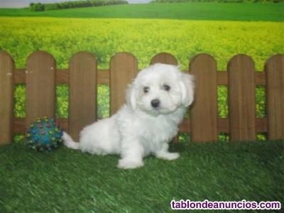 Se vende cachorro bichon maltés